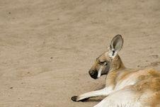 Kangaroo Siesta Royalty Free Stock Photos
