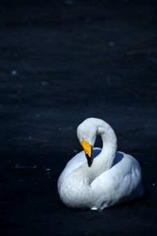 Free Swan Royalty Free Stock Photo - 4549985