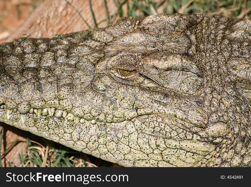 Head of a crocodile close up