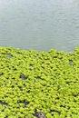 Free Pond Lilies Stock Image - 4552351