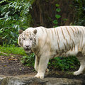 Free White Tiger Prowl Royalty Free Stock Photos - 4555768