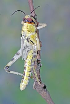 Free Locust 1 Stock Photos - 4550123