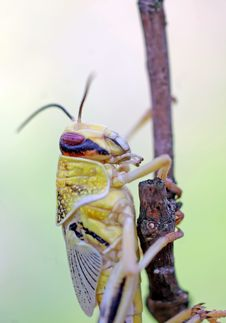 Free Locust 2 Royalty Free Stock Photography - 4550147