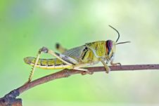 Free Locust 3 Royalty Free Stock Photography - 4550237