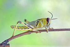 Free Locust 3 Royalty Free Stock Photography - 4550237