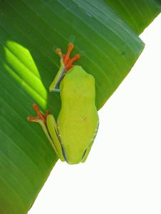 Red Eyed Tree Frog Haning On A Leaf Royalty Free Stock Images