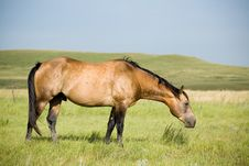 Buckskin Quarter Horse Stock Photos