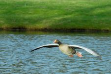 Free Goose In Flight Royalty Free Stock Images - 4551489