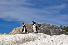 Free African Penguins On Rock Royalty Free Stock Photos - 4553148