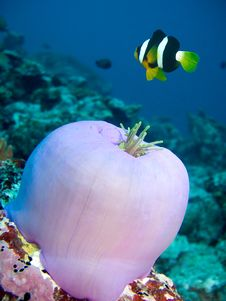 Free Damselfish And Anemone Royalty Free Stock Photos - 4553268