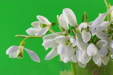 Free Bouquet Of Snowdrops Royalty Free Stock Image - 4554286