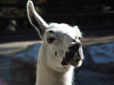 Llama, Llama Stock Image