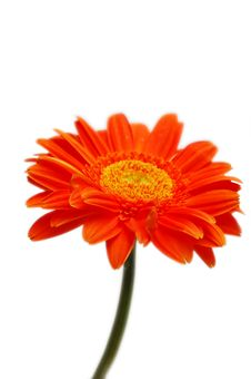 Free Orange Gerber Stock Photo - 4555030