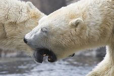 Polar Bear Fight Royalty Free Stock Images