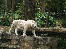 Free White Tiger Prowl Royalty Free Stock Photos - 4555758