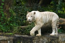 Free White Tiger Prowl Stock Photography - 4555792