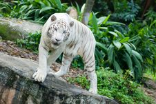 Free White Bengal Tiger Stock Images - 4555994