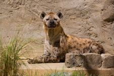 Free Spotted Hyena Royalty Free Stock Photos - 4556198