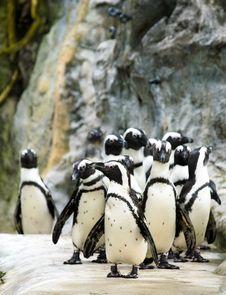 Penguin Parade Royalty Free Stock Photo