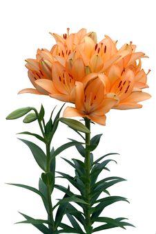 Orange Lily Stock Image