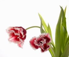 Free White - Pink A Tulip Stock Photography - 4556722