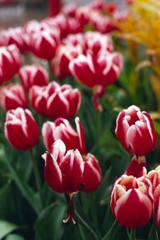 Free Red Tulip Royalty Free Stock Photo - 4557015