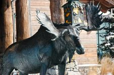 Free A Moose Royalty Free Stock Images - 4557309
