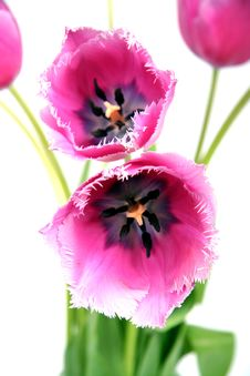Free Bouquet Of Tulips. Royalty Free Stock Photos - 4557388
