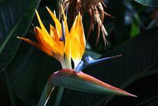 Free Strelitzia Flower Royalty Free Stock Image - 4557516
