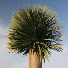 Free Dracaena Plant Royalty Free Stock Image - 4557536