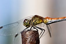 Free Dragonfly Royalty Free Stock Image - 4557646