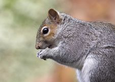 Free Grey Squirrel Profile Stock Images - 4558284