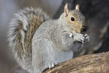 Free Eastern Grey Squirrel Stock Images - 4559084