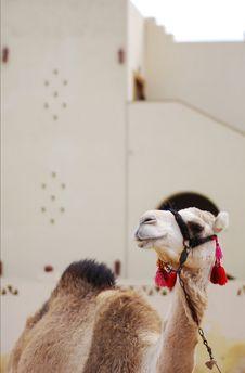 Free Camel Stock Photo - 4559360