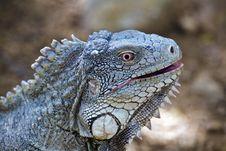 Free Iguana Stock Photo - 4559650