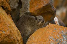 Free South African Dassie Stock Photography - 4559822