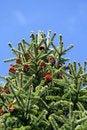 Free Pine Tree And Pine Corns Royalty Free Stock Photos - 4560788