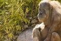 Free Orangutan Looking At Viewer Stock Photo - 4565890