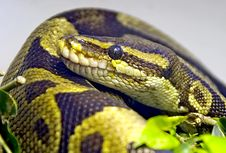 Free Royal Python 1 Stock Photos - 4560253