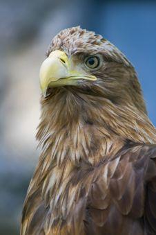 Sharp-sighted Eagle Royalty Free Stock Photo
