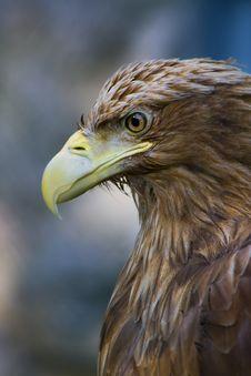 Free Sharp-sighted Eagle Royalty Free Stock Photos - 4560668