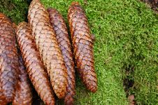 Free Pine Cones Royalty Free Stock Photography - 4561727
