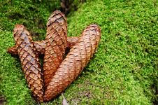 Free Pine Cones Stock Images - 4561884