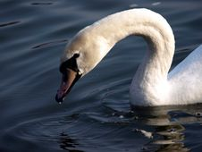 Free Swan Royalty Free Stock Photography - 4562647