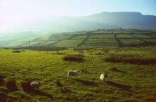 Green Meadows With Sheep Royalty Free Stock Photo