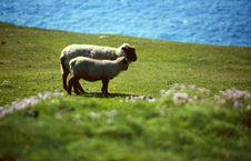 Free Sheep At Coastline Stock Image - 4563871