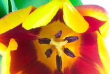 Free Close-up Tulip Royalty Free Stock Image - 4564106