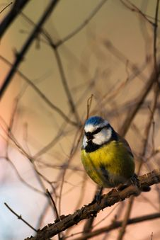 Free Blue Tit Royalty Free Stock Photography - 4564417