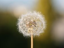 Free Dandelion Seeds Stock Photo - 4564430