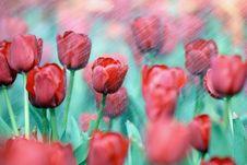 Free Tulips Stock Image - 4564661